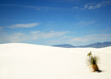 Een yucca in Wit Zand Royalty-vrije Stock Afbeeldingen