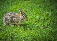 Een zachte en verwarde konijntjeszitting in het gras royalty-vrije stock afbeelding