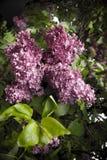 Een zachte purpere sering op een vage achtergrond Purpere zachte lilac bloemen in helder licht royalty-vrije stock afbeeldingen