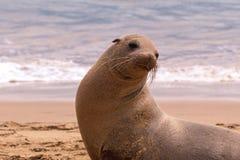 Een zand van het zeeleeuwspel op het strand Stock Fotografie