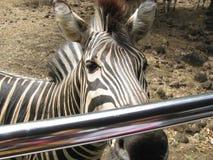 Een zebra Stock Afbeeldingen