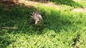 Een zebra in de dierentuin van Patna royalty-vrije stock foto