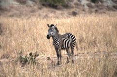 Een zebra in de wildernis royalty-vrije stock foto