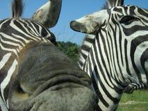 Een zebra die mijn camera probeert te eten. stock foto's