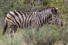 Een zebra in het Nationale Park van Kruger royalty-vrije stock foto