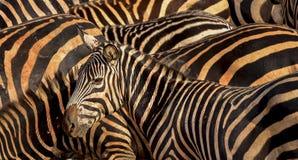 Een zebra op een achtergrond van gestreepte stroken Stock Foto's