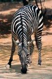 Een zebra van Afrika Stock Afbeeldingen