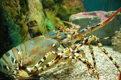 Een zeekreeft in een aquarium Stock Foto's