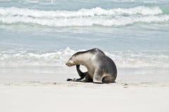 Een zeeleeuw royalty-vrije stock fotografie