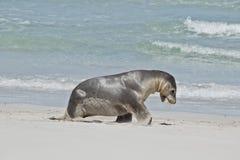 Een zeeleeuw royalty-vrije stock afbeeldingen