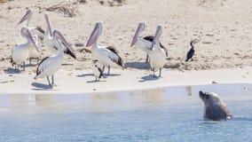 Een zeeleeuw en een groep pelikanen op het zandige strand van Pingu?neiland, Rockingham, Westelijk Australi? stock fotografie