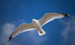 Een zeemeeuw die in de blauwe hemel vliegt Stock Afbeelding