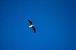 Een zeemeeuw die in de hemel stijgen Stock Fotografie