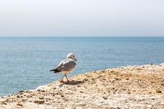 Een Zeemeeuw die langs een klip lopen Stock Fotografie