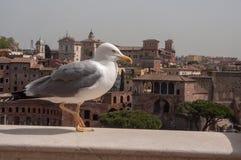 Een zeemeeuw die op de achtergrond de oude markten van Trajan stellen ` s in Rome, Italië stock foto
