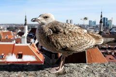 Een zeemeeuw geniet van de mening van een Oude Stad stock afbeeldingen