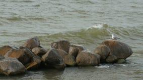Een zeemeeuw op een rots stock footage