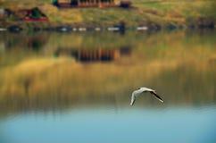 Een Zeemeeuw vliegt over het Meer Stock Foto