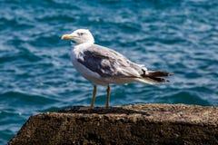 Een zeemeeuw zit op een rots tegen de achtergrond van het overzees royalty-vrije stock afbeelding