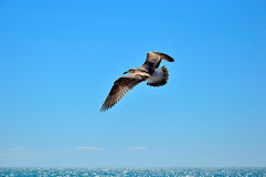 Een zeemeeuwvogel die in de hemel over het overzees vliegen Royalty-vrije Stock Foto's