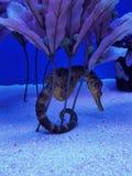 Een zeepaardje Royalty-vrije Stock Afbeeldingen