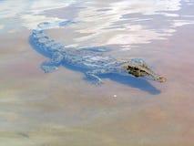 Een zeer dichte krokodil!! Royalty-vrije Stock Fotografie