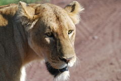 Een zeer Dichte Leeuw royalty-vrije stock foto