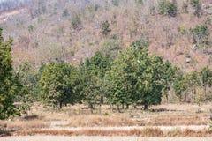 Een zeer dichte mening van Indische bomen die ontzagwekkend in een landelijk bos in de zomer kijken stock fotografie