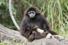 Een zeer droevige het kijken Gibbon stock foto