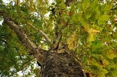 Een zeer grote seculaire eik op de herfst stock foto's