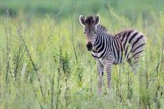 Een zeer jonge zebra Stock Afbeeldingen
