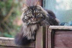 Een zeer knap leuk langharig bruin katje Stock Foto's