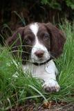 Een zeer leuke lever en een wit werkend van het het spanielhuisdier van de type Engels aanzetsteen de jachthondpuppy Stock Fotografie
