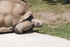 Een zeer oude schildpad stock afbeelding