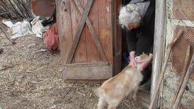 Een zeer oude vrouw met grijs haar speelt met een kleine geit op de drempel van de schuur stock footage