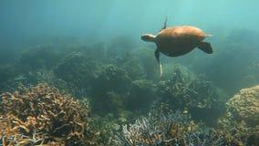 Een zeeschildpad en een koraalrif stock videobeelden
