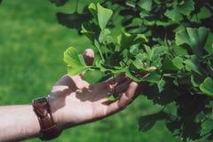 Een zeldzame boom van Ginkgo Biloba stock afbeelding