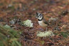 Een zeldzame Kuifcristatus die van Meeslophophanes naar voedsel op de bosvloer in het Abernathy-bos in de hooglanden van Scot zoe royalty-vrije stock afbeeldingen