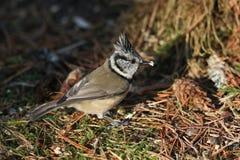 Een zeldzame Kuifcristatus die van Meeslophophanes naar voedsel op de bosvloer in het Abernathy-bos in de hooglanden van Scot zoe stock fotografie