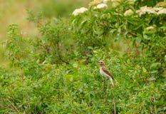 Een zeldzame vogel op een twijg van struiken onder bloemen royalty-vrije stock foto