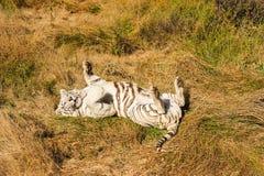 Een zeldzame witte tijger in de wildernis royalty-vrije stock foto