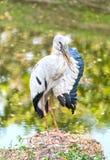 Een zich op een rots dichtbij het moeras bevinden en reiger die het is vleugel opheffen Royalty-vrije Stock Foto