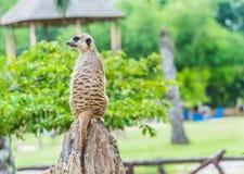 Een zich rechtop en meerkat die waakzaam bevinden kijken. Royalty-vrije Stock Foto's
