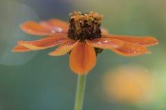 Een zijaanzichtclose-up van oranje Zinia-bloem Stock Fotografie