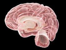 Een zijdwarsdoorsnede van de menselijke hersenen royalty-vrije illustratie