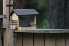 Een zitting van de huisvink op de vogelvoeder Royalty-vrije Stock Foto's