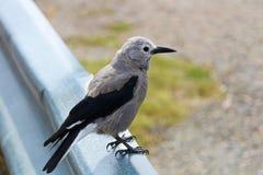 Een zitting van de de Notekrakervogel van Clark ` s op een barrièrespoor stock foto's