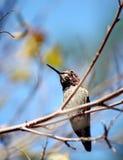 Een zoemende Vogel die op een boomtak rust royalty-vrije stock afbeelding