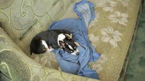 Een zoete uiterst kleine chihuahuahond of speelgoed-Terrier verbergen zijn neus onder de deken, liggend op de laag stock footage