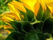 Een zonnebloem stock foto